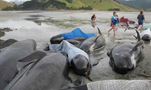 De Las 200 Ballenas Varadas 24 Han Muerto En Farewell Spit Nueva Zelanda