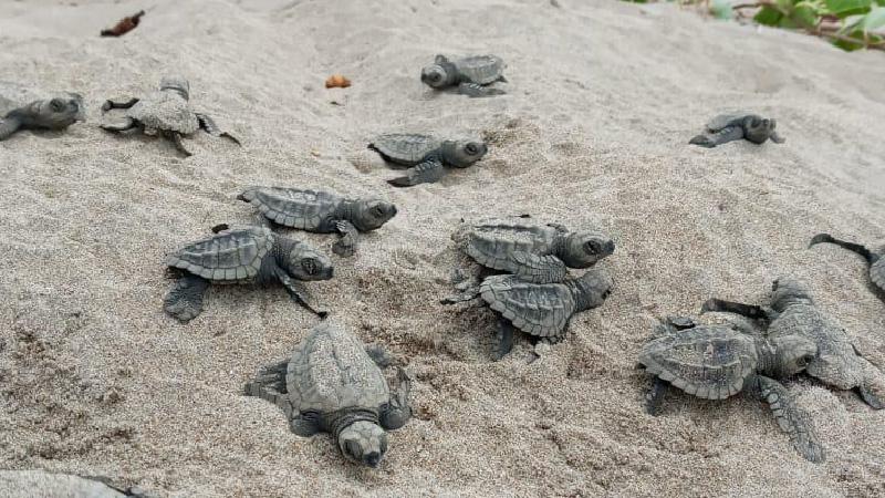 Nace medio centenar de tortugas golfina en Esmeraldas | Ecuavisa