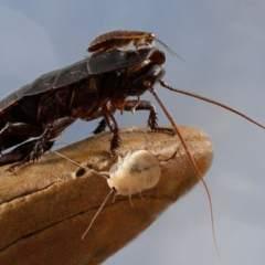 Solo el 1% de las especies de cucarachas que hay en el mundo son una peste.