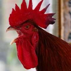 El animal se escapó del gallinero y comenzó a corretear al pequeño. Foto referencial / Internet