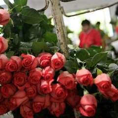 QUITO, Ecuador.- Las exportación de flores obtuvo una variación positiva, que a criterio de miembros de Expoflores se debe a la temporada de San Valentín. Foto: Referencial/ Archivo.
