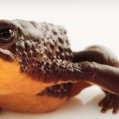 La rana desapareció a finales de la década de 1980. Foto: @Ambiente_Ec
