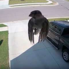 """Pareciera que el ave se encuentra """"flotando"""" en el aire, lo que provoca asombro. Foto: Captura"""