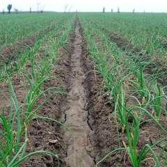 En la provincia de Loja, actualmente el campo de siembra de cebollas se encuentra repleto por falta de permisos. Foto: Pixabay