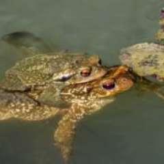 Los sapos son uno de los 7.000 anfibios en peligro de extinción según la Unión Internacional para la Conservación de la Naturaleza (UICN). Foto: GETTY IMAGES/BBC