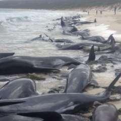 Alrededor de la mitad de las ballenas encalladas fallecieron. (Foto: Western Australia Government)