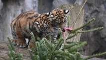 El obsequio de los tigres fue 'adornado' con pedazos de carnes. Foto: AFP