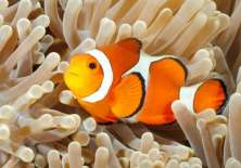 El pez payaso vive en aguas tropicales.