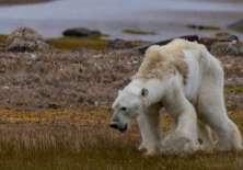 """""""Lloramos cuando filmamos este oso moribundo"""", dijo una de las autoras de las imágenes, la fotógrafa mexicana Cristina Mittermeier. Foto: CATERS NEWS"""