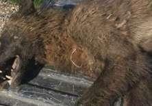 Los expertos no han podido determinar qué es este animal encontrado en el estado de Montana, en el noroeste de EE.UU.
