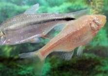 Genes de pequeño pez mexicano puede esconder la clave para cambiar la vida de miles. Foto: BHF
