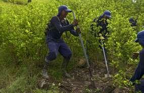 Ecuador vincula violencia en frontera con cultivo de coca. Foto: AFP - Referencial