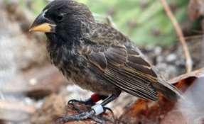 La nueva especie surgió de la reproducción de dos progenitores de distintas especies: G. fortis y G. conirostris. Foto: P.R. Grant.