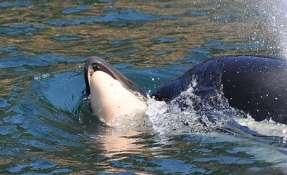 La orca, conocida como J35, no soltaba a su cría muerta.