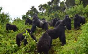 Un grupo de gorilas de montaña en el Parque Nacional de los Volcanes en Ruanda, 2014. Foto: AP