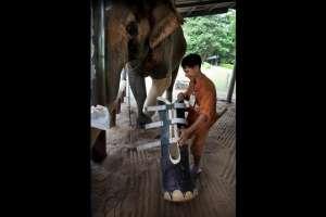 Un elefante recibe una prótesis de pierna.