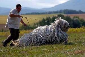 Este no es un perro Rastafari, es un perro Komodor una raza tradicional húngara
