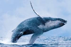 La ballena jorobada -que pertenece al grupo de los misticetos o ballenas barbadas- puede llegar a medir de adulta entre 12 y 16 metros.