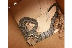 El reptil está considerado como el más venenoso de cuantos viven en el estado de Arkansas (EE.UU.). Foto: @cmbrookins