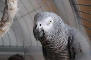 El ave imitó la voz de su dueña y realiza una compra en Amazon. Foto: Pixabay Referencial