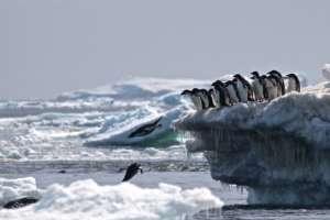 ANTÁRTIDA.- La población de esta variedad de pingüinos está refugiada en un islote del mar Weddell. Foto: AFP.