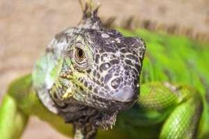 En las iguanas se puede notar el ojo pineal a simple vista.