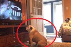 La reacción de este bulldog al ver una película de terror es viral.