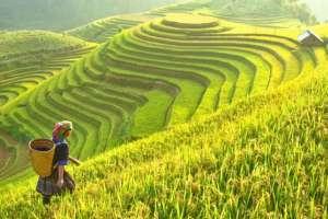 El arroz es la base de la dieta diaria de cerca de 3.500 millones de personas. Foto: GETTY IMAGES