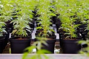 Uruguay, no abastece el consumo del cannabis legal Foto: AFP