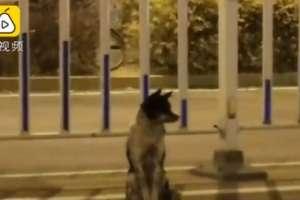 El servicio Pear Video dijo que el perro ha permanecido allí desde el 21 de agosto.