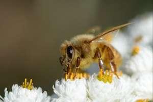 Cada colmena produce en promedio cada año 25 kilos de miel. Foto: AFP Referencial
