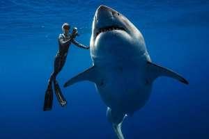 Un ejemplar de tiburón blanco de unos 6 metros de largo fue visto por buzos en aguas cercanas a Hawái. Foto: Reuters