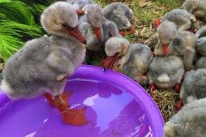 Los rescatistas han colocado plumeros en las cajas con los polluelos. Foto: AP