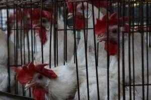 De acuerdo con los investigadores, las gallinas no sufren, ya que para ellas es como poner un huevo normal.