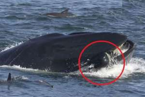 Una ballena se traga a un buzo en Sudáfrica.