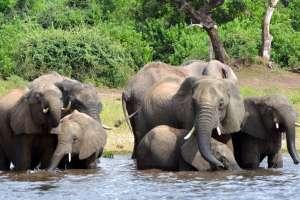 El anuncio causó preocupación por el posible aumento de caza ilegal de elefantes. Foto: AP