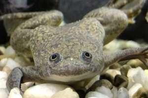 Esta rana africana de uñas era la cara de las pruebas de embarazo entre los 1930 y 1970.