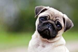 Los perros tienen un rostro tan expresivo que parecen implorar a sus dueños.