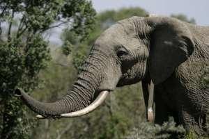 Un fotógrafo capta a un elefante asesinado brutalmente. Foto: AP - Referencial