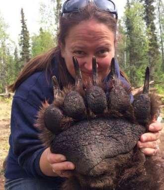 La gran garra de un oso grizzly sedado // Fotos: Notinerd