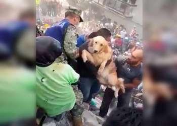 El can golden retriever fue hallado después de casi cinco horas del terremoto. Foto: Captura de video