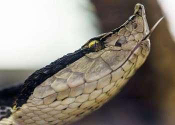El reptil excavador altamente venenoso está en peligro de extinción. Foto: Flickr Tambako The Jaguar