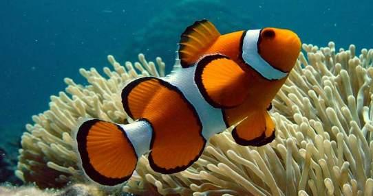 Los investigadores analizaron los niveles de estrés y de las hormonas reproductivas del pez payaso. Foto: Pixabay