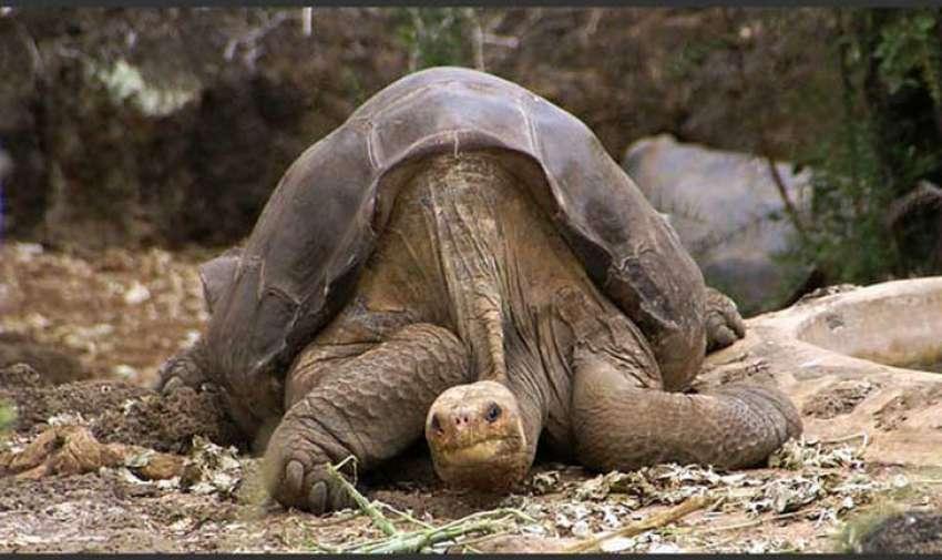 La tortuga gigante de Pinta, una subespecie de la tortuga de las Galápagos, puede que sea el animal grande más reciente en ser declarado extinto.  Él último de su tipo, el apodado Solitario George, un macho de más de 100 años (es él en la fotografía) murió el 24 de junio, 2012 por insuficiencia cardíaca. Foto: upsocl