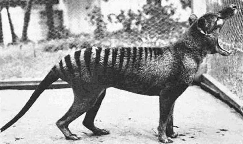 El marsupial carnívoro más grande en los tiempos modernos (tenía 0,7 metros de altura y 1,8 metros de largo incluyendo la cola), el tilacino, vivió en el continente de Australia y Nueva Guinea. Cuando los europeos colonizaron ya estaba casi extinto, debido a la actividad humana.  Sin embargo, en Tasmania (de ahí viene el nombre más común loco de Tasmania) vivió más tiempo, el último tilacino salvaje fue cazado en 1930. El último tilacino en cautiverio, en la fotografía, murió en 1936. Foto: upsocl