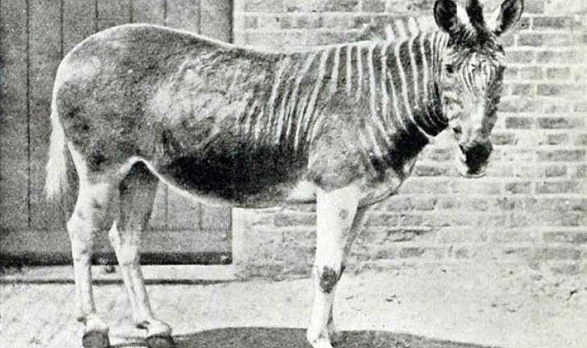 Sólo un cuaga fue fotografiado, la hembra en la fotografía, en el zoológico de Londres.  En su estado salvaje, el cuaga, una subespecie de la cebra común, se encontraba en grandes números en Suráfrica.  Sin embargo, el cuaga fue llevado a la extinción ya que era cazado por su carne, piel y como alimento para animales domésticos.  El último cuaga salvaje fue cazado en la década de 1970. Foto: upsocl