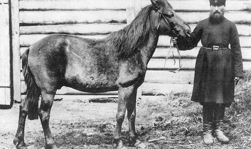 El tarpán, o caballo salvaje euroasiático, vivió en estado salvaje hasta algún momento entre 1875-1890, el último ejemplar en su hábitat natural murió durante un intento para capturarlo.  El último ejemplar en cautiverio murió en 1918. Foto: upsocl