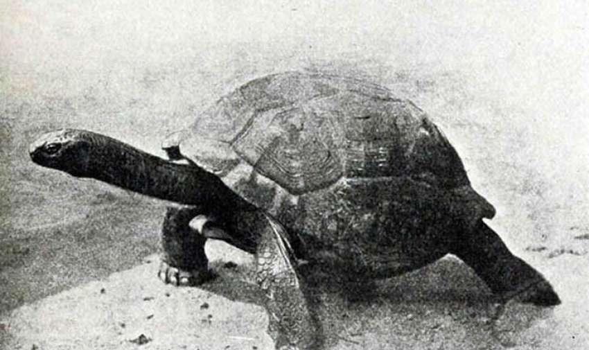 Exista una controversia acerca de si la tortuga gigante de Seychelles está completamente extinta o solo extinta en su hábitat natural.  Durante el siglo 19, la tortuga gigante de Seychelles, al igual que otras especies similares de tortugas en otras islas del océano índico, fue llevada a la extinción por la caza. Antes de ser eliminada de su hábitat en 1840, vivía cerca de pantanos y riachuelos, alimentándose de vegetación. Foto: upsocl