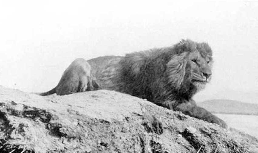 Se solía encontrar desde Marruecos a Egipto, el león de Berbería (también conocido como el león del atlas) era la subespecie de león más grande y pesada. A diferencia de otros leones, debido a la escasez de alimento en su hábitat, el león de Berbería no vivía en manadas.  El último león de Berbería salvaje fue cazado en las montañas del Atlas en Marruecos, en 1922.Foto: upsocl
