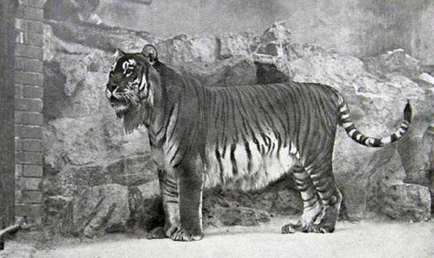 Al otro lado de la escala del tigre de Bali, el tigre del Caspio era una de las subespecies felinas más grandes de la historia, solo un poco más pequeño que el masivo tigre siberiano.  Solía vivir en las costas del mar Negro, las costas del mar Caspio, lo que es ahora el norte de Irán, Afganistán, las antiguas repúblicas rusas en Asia Central y hasta el oeste de China. El tigre del Caspio fue sistemáticamente cazado hasta su extinción. Foto: upsocl